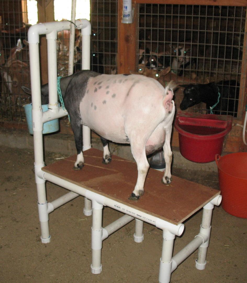 Build A Pvc Milking Stand Pholia Farm Goat Dairy
